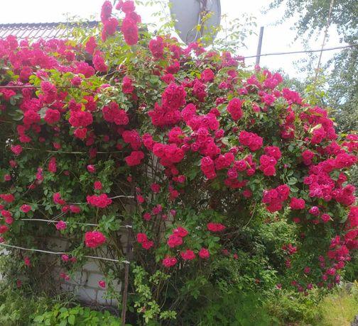 Продам троянду