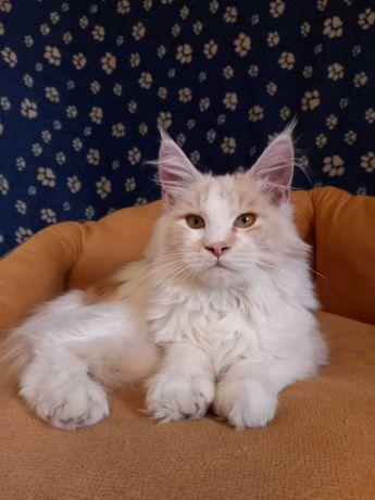 Очень ласковый котик Мейн -кун