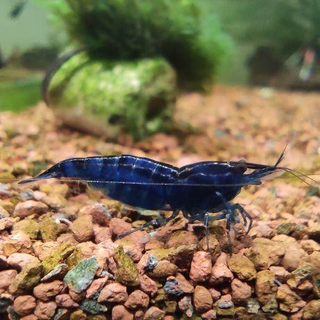 Krewetki blue Velvet, krewetka niebieska.