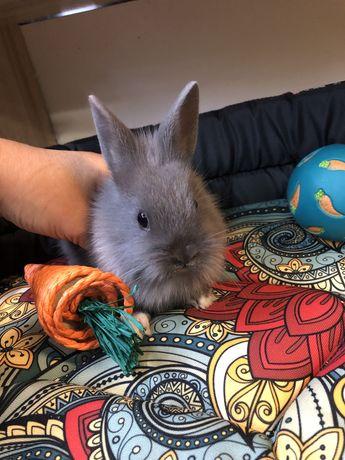 Niebieski szary królik miniaturka teddy samiczka Zooanimals