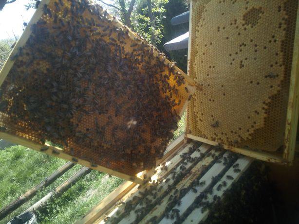 Odkłady pszczele, pszczoły,Matki pszczele