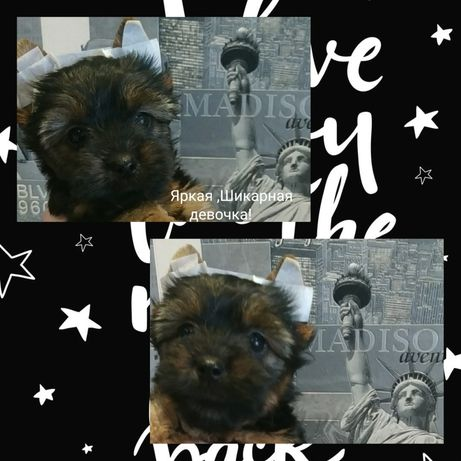 #Покупка маленькой собачки- Йоркширского терьера#