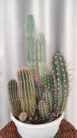 Kompozycja kaktusów