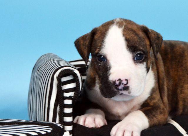 Предлагаются к продаже щенки Американского Стаффордширского Терьера!