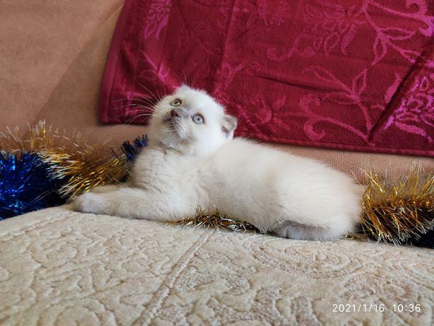 Шотландский котёнок лилак поинт