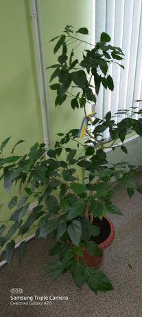 Китайская роза (Гибискус) или обмен на цитрусовые