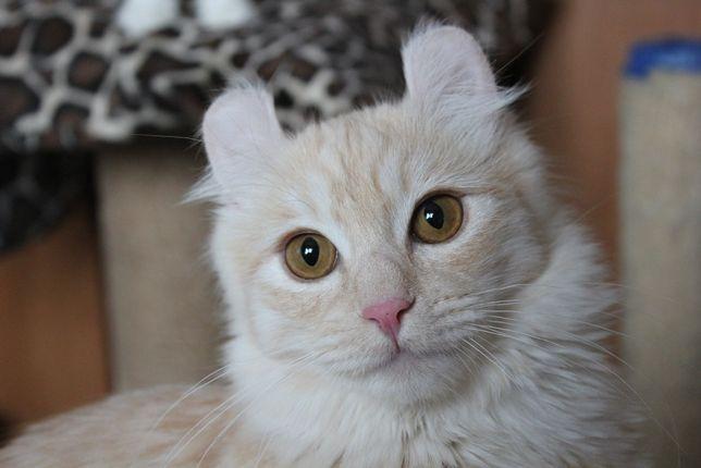 Американский керл - взрослая кошка