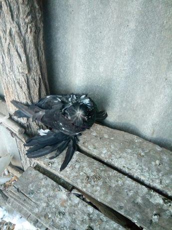 голуби бухарі