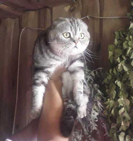 Мраморный вислоухий кот вязка