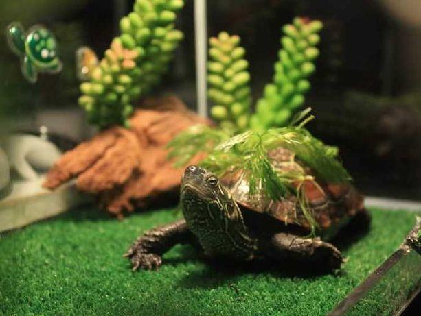 Żółw chiński