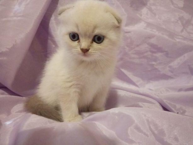 Нарядный элитный шотландский котик,1,5мес