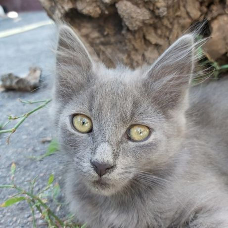 Дымчатая принцесса от Британской кошки