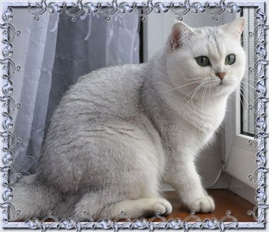 Британский котяра приглашает