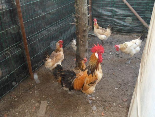 ovos galados de Galinhas surenha morucha ( para incubaçao)