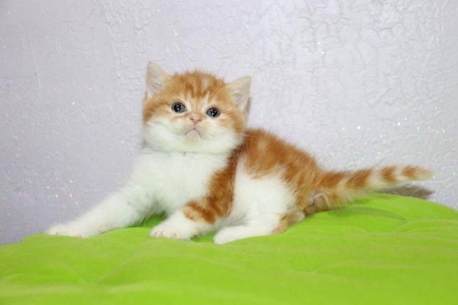 Шотландский котёнок в красивом окрасе