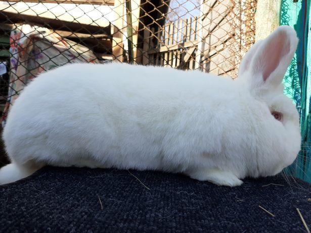Кролики НЗБ . Новозеландские белые . Самки и самцы . Молодняк