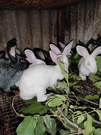 Кролики паноны, пс,гепарды.