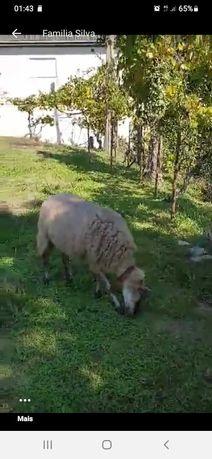 Vendo ovelhas mãe e filha