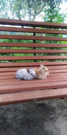Продам декоративних кроликів