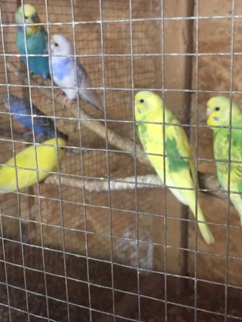 Papugi faliste i zeberki
