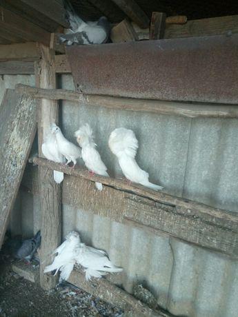 голуби якобіни