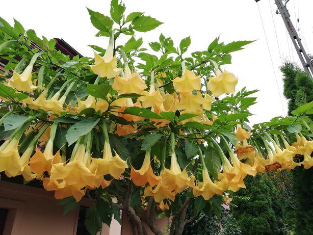Datura żółta, różowa /łososiowa. Duże sadzonki