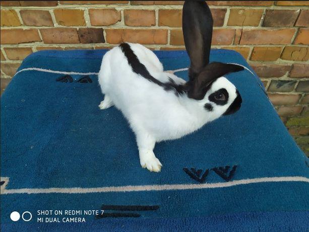 Królik (króliki) Olbrzym Srokacz Czarny. Samce