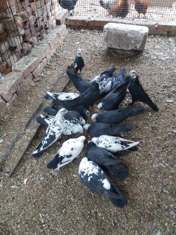 голуби чёрно-серые чили жуки бойные