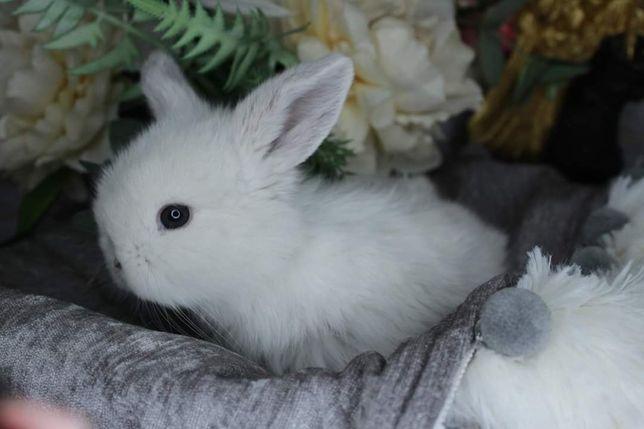 Mini lop królik miniaturka