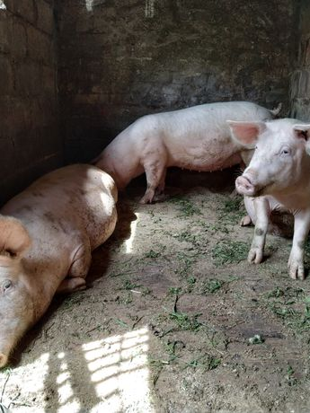 Свиньи беконные Днепр