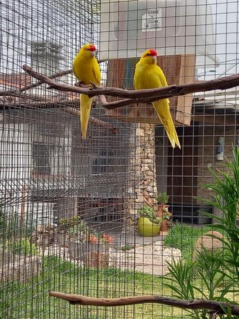 Kakarikis amarelos adultos