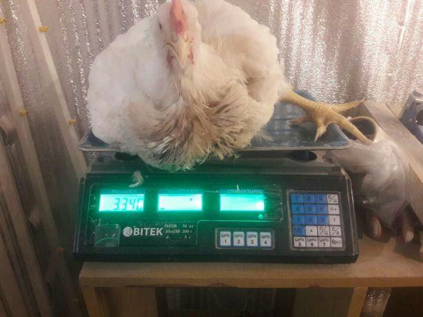 Бройлер,суточный цыпленок Кобб 500