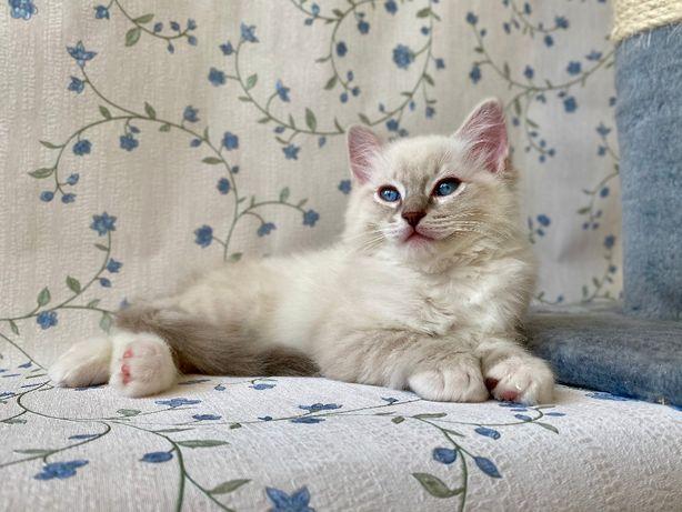 Рэгдолл котик в разведение.