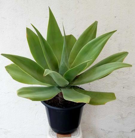 Planta suculenta Agave Attenuata - Dragão