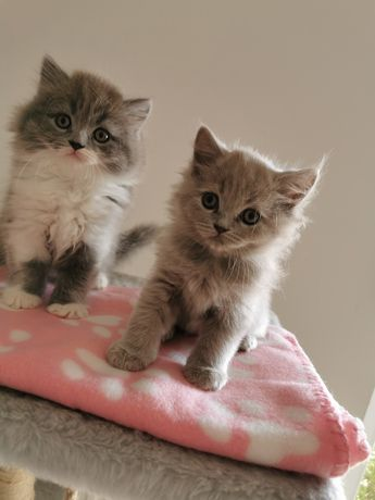 Brytyjczyki Przytulaski z Brit Life kotki kocurki