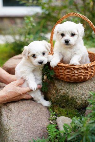 Bichon Frise urodziły się 12.07.Zostaną zaszczepione i zaczipowane.