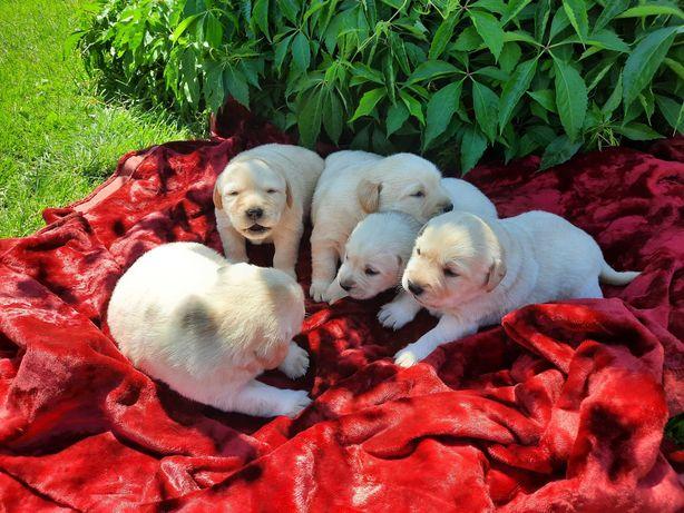 Labradory biszkoptowe szczeniaki pięć psów