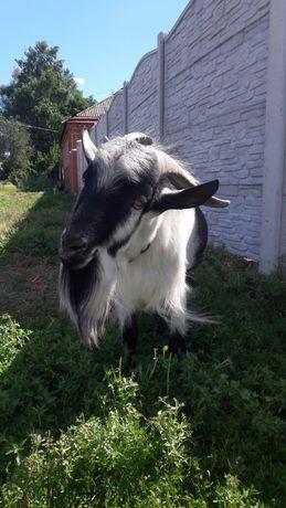 Красавец козел ищет подругу для случки