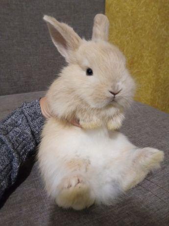 Карликовые декоративные мини кролики mini loop торчеухие кролики