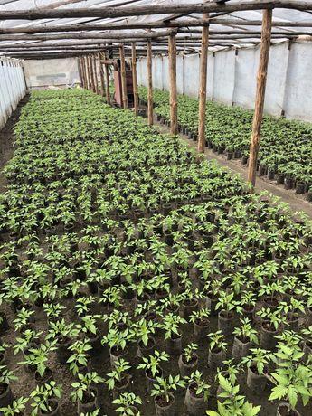 Sadzonki głównie pomidory i ogórki