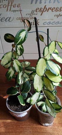 Хойя acuta yellow varieg., acuta white varieg., verticillata va