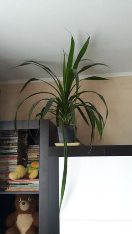 Панданус винтовая пальма кукурузка