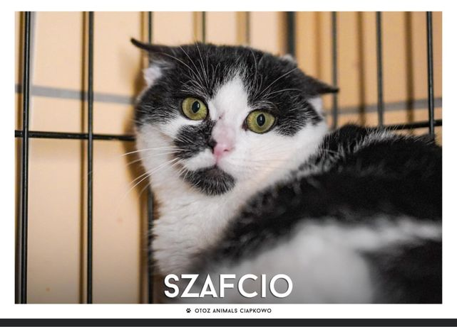 Znaleziono biało czarnego kota- Szafcio gotowy do adopcji.