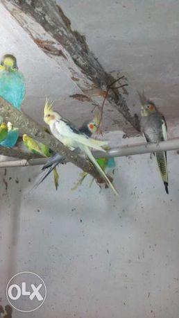 Хвилястіі папуги, карели,