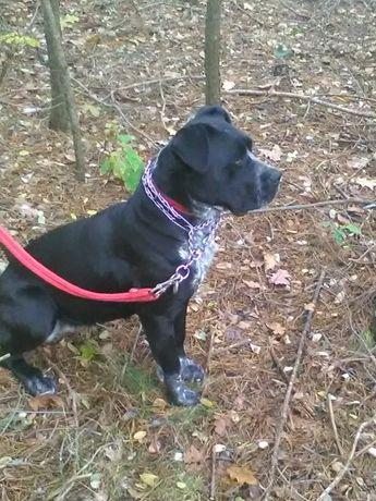 Pies Cane Corso stróżujący