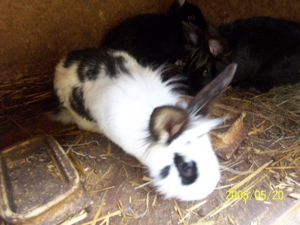 Sprzedam piękne króliki