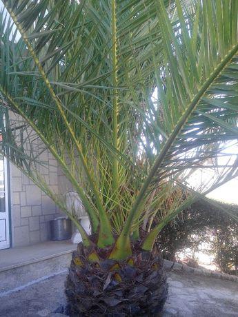Sementes de Palmeira