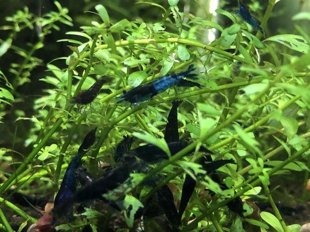 Camarões Neocaridinas Gene Blue Dream