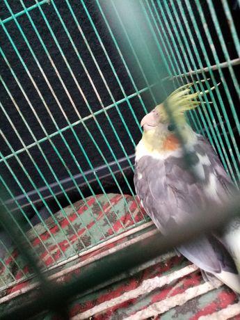Papuga Nimfa samica