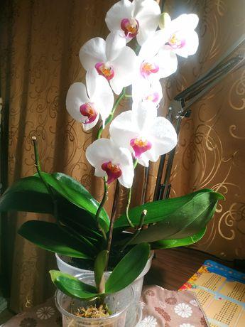 Орхидея обмен детка